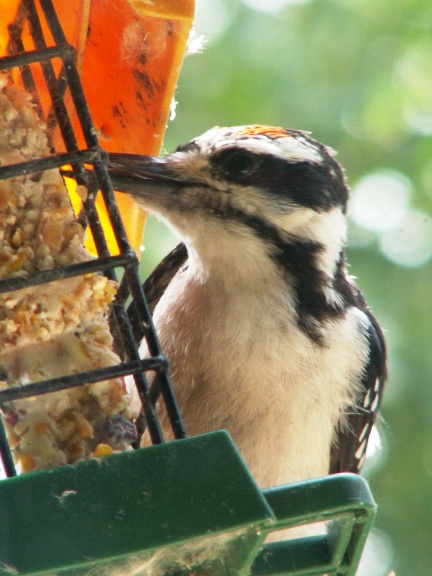 Hairy Woodpecker 1
